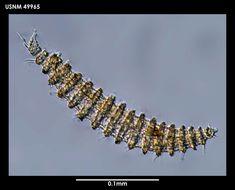 Image de <i>Desmoscolex frigidus</i> Timm 1978