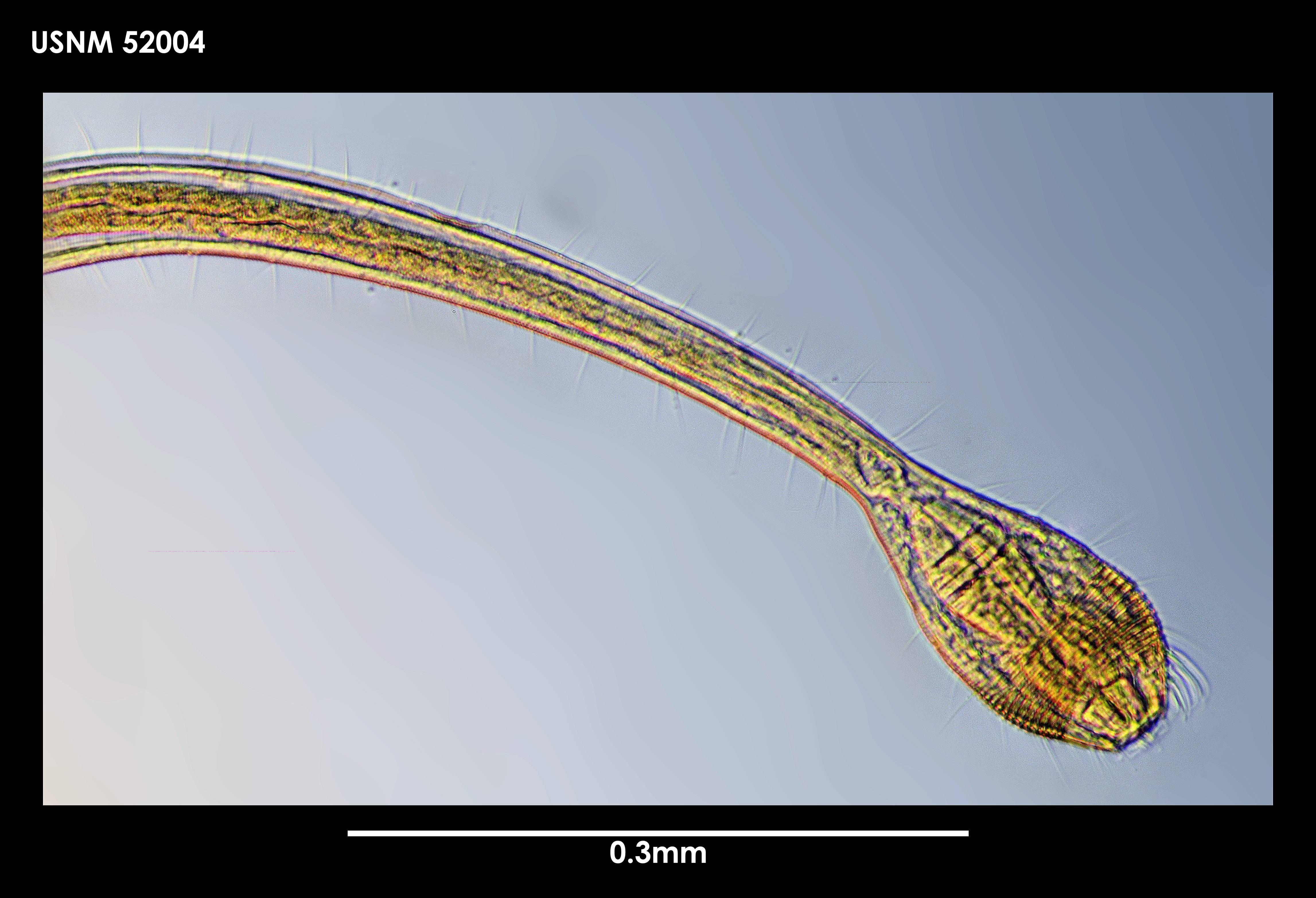 Image of <i>Draconema antarcticum</i> (Allen & Noffsinger 1978)