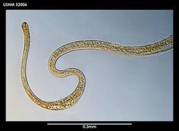 Image of <i>Cygnonema steineri</i> Allen & Noffsinger 1978