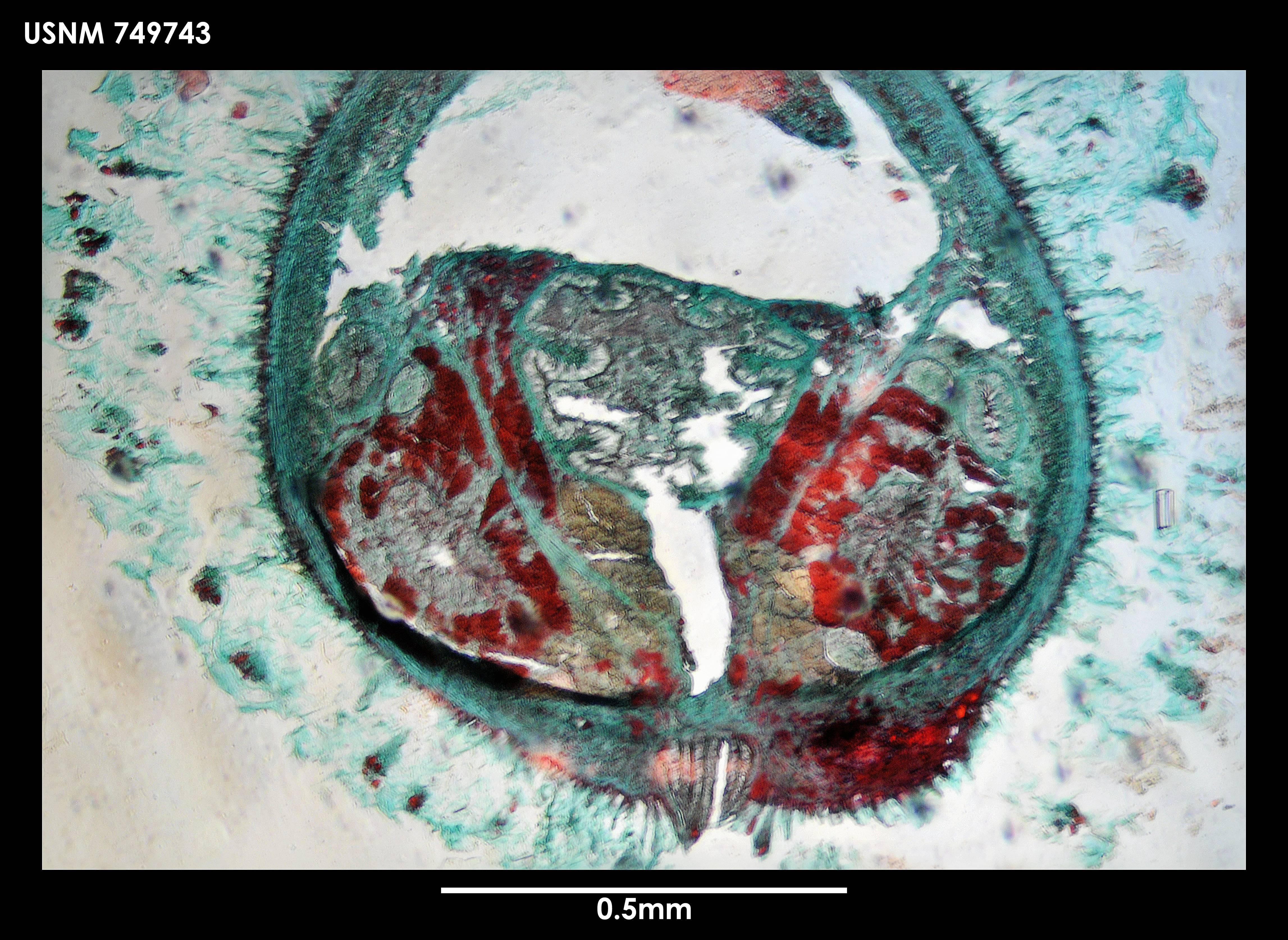 Image of <i>Alexandromenia antarctica</i> Salvini-Plawen
