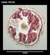 Image of <i>Dorymenia paucidentata</i> Salvini-Plawen 1978