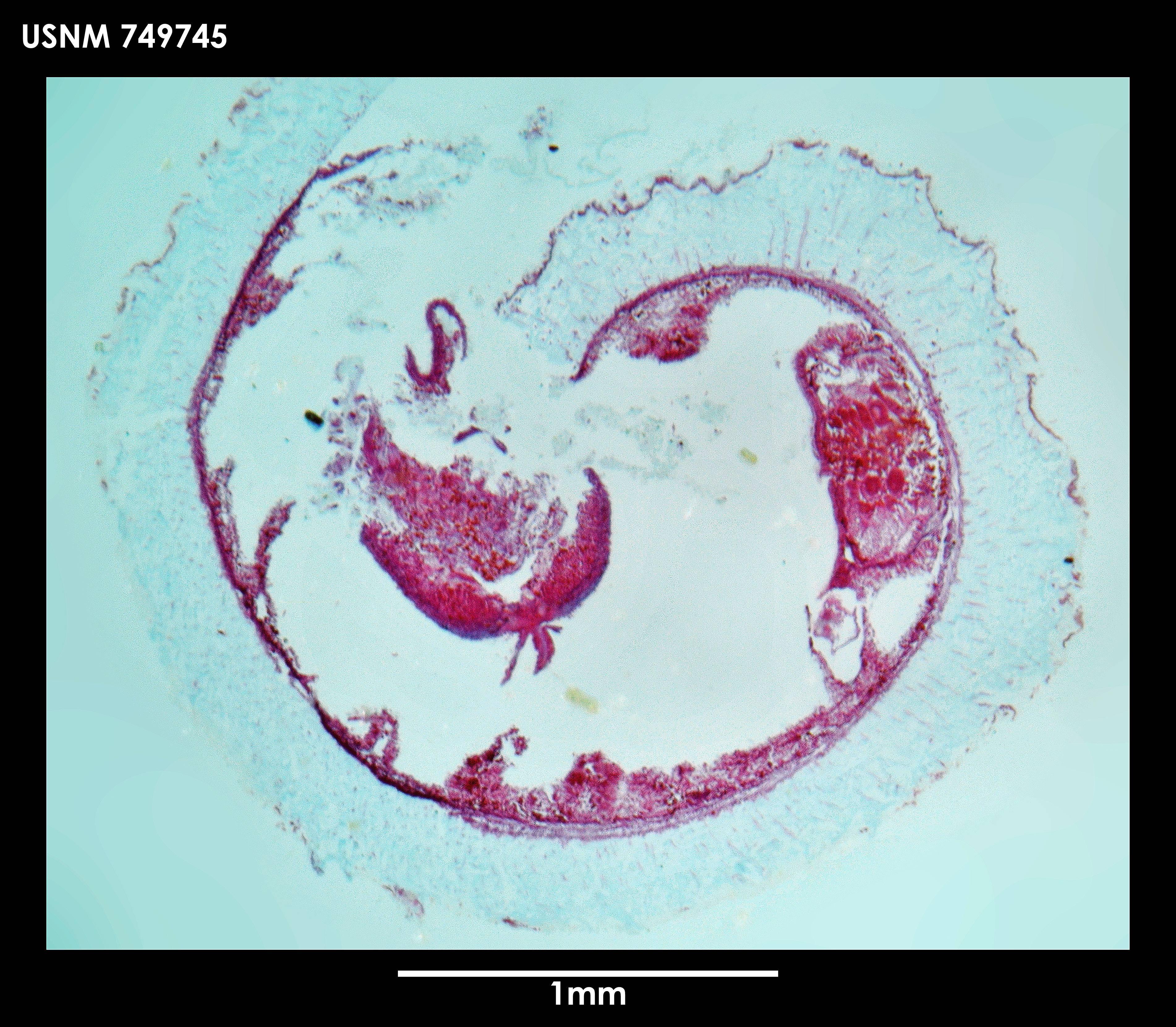 Image of <i>Dorymenia tetradoryata</i> Salvini-Plawen 1978