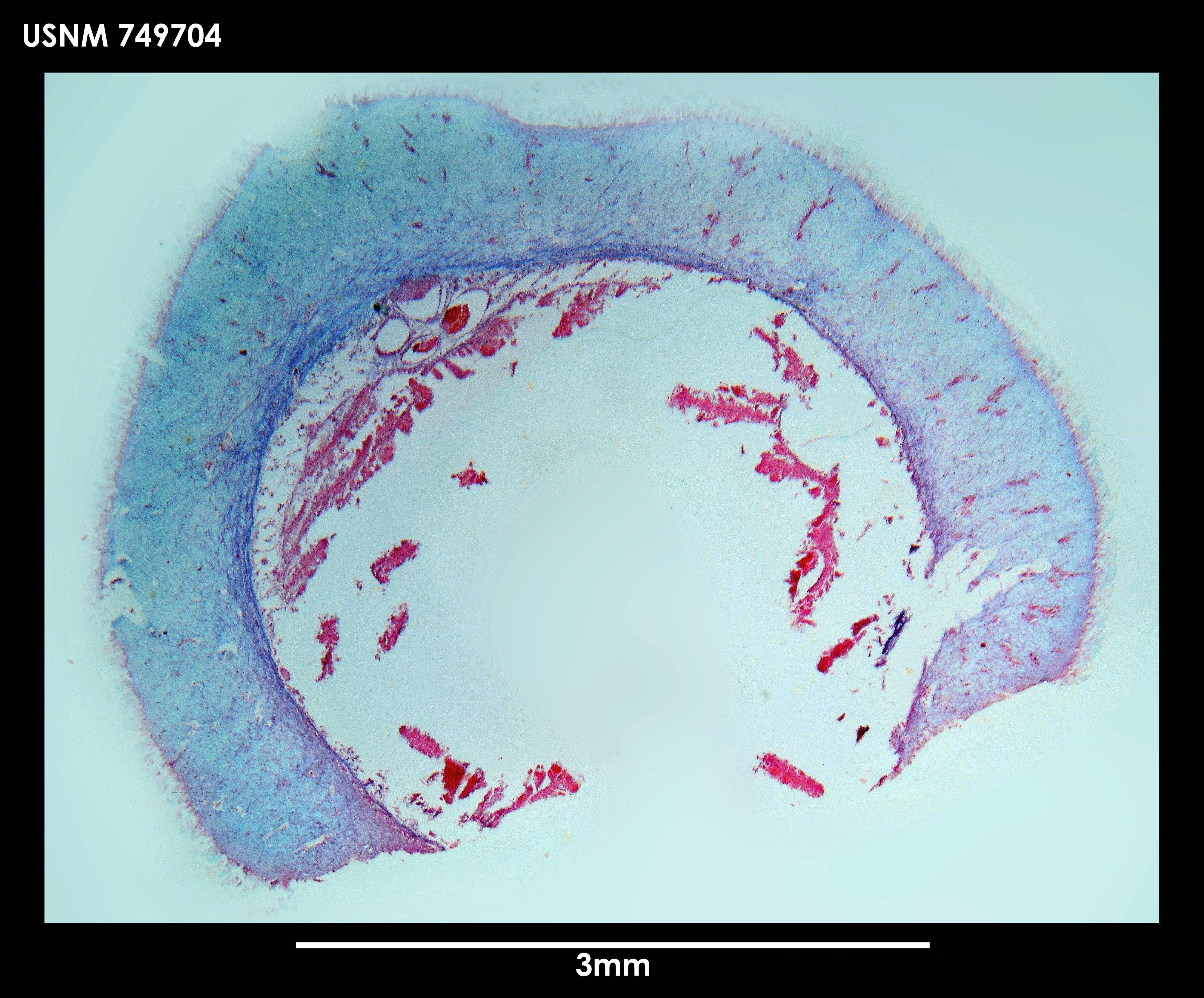 Image of <i>Neomenia labrosa</i> Salvini-Plawen 1978