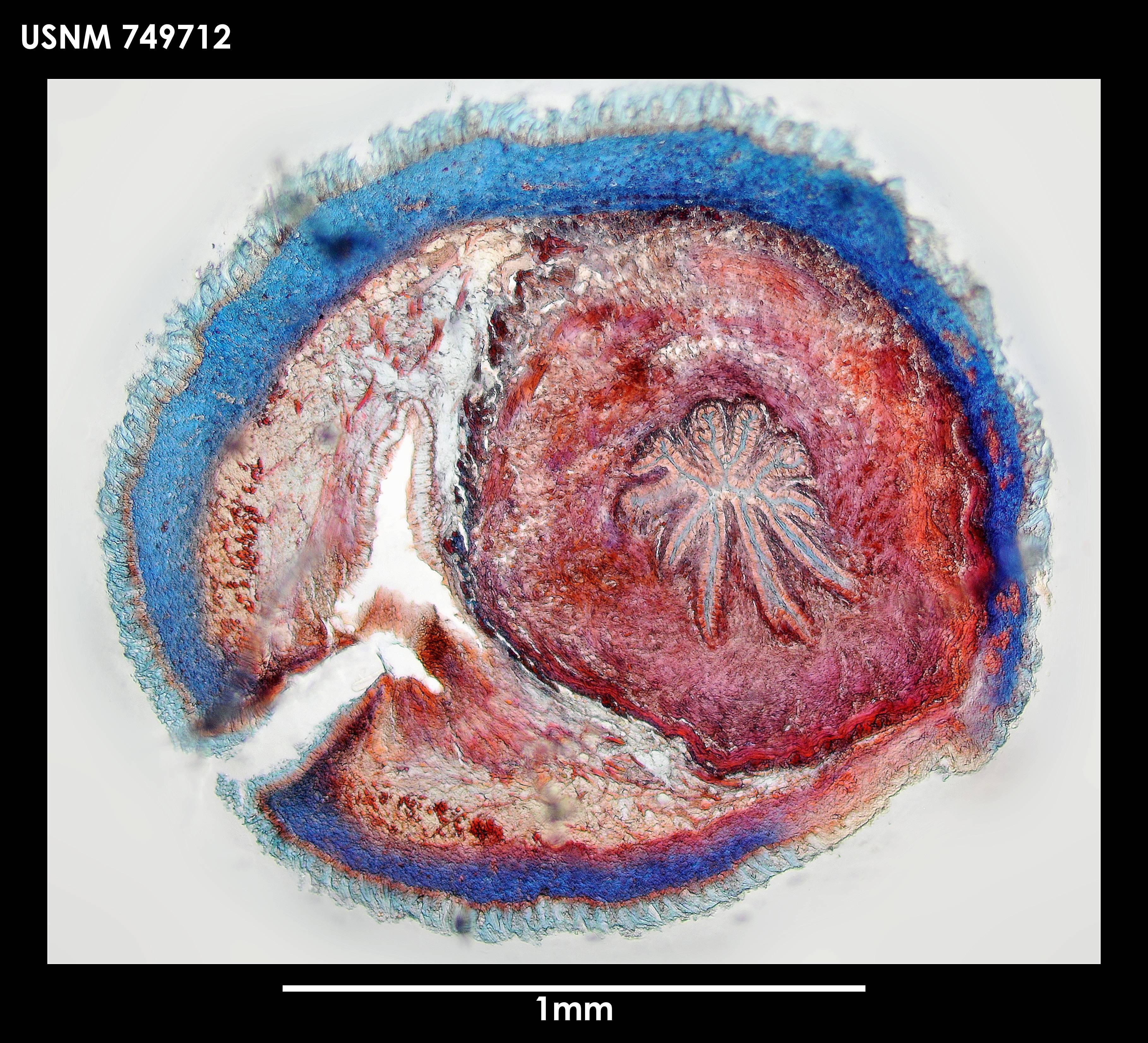 Image of <i>Neomenia laminata</i> Salvini-Plawen 1978