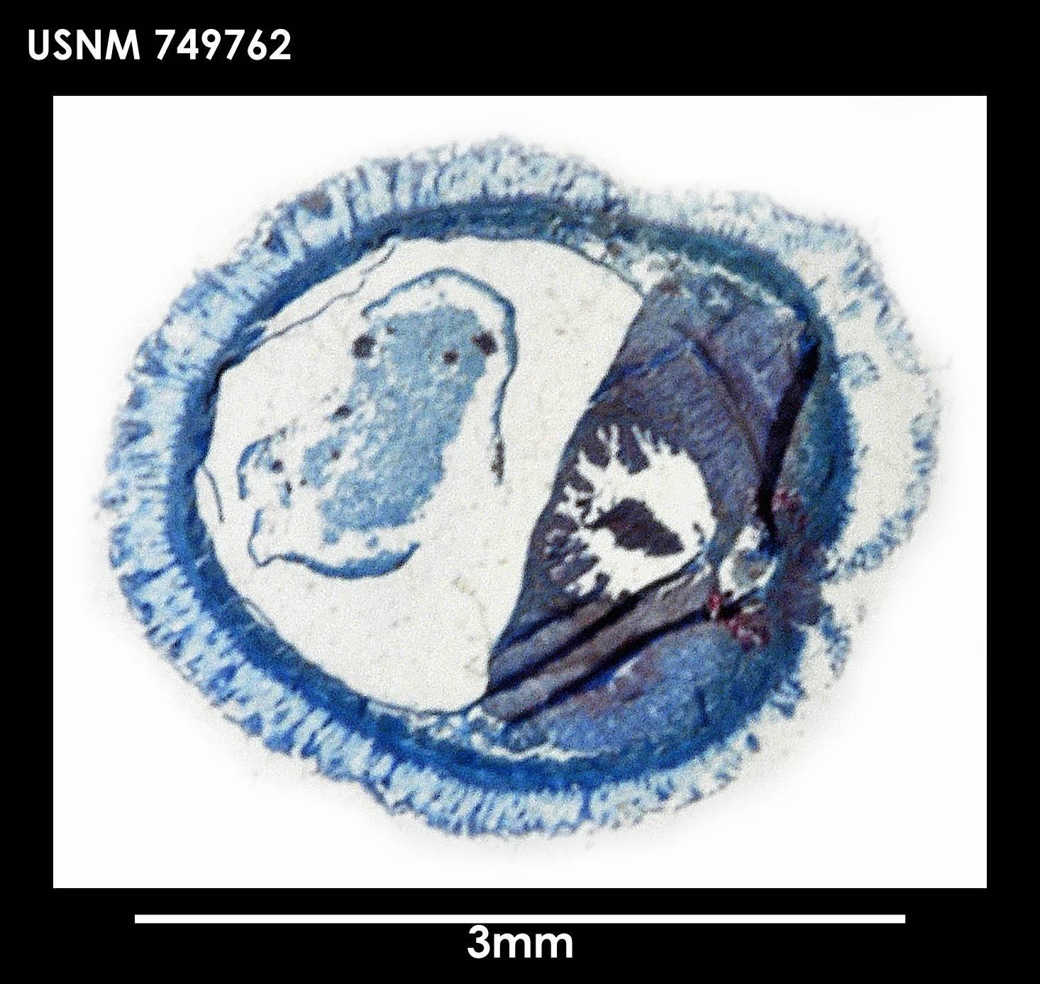 Image of <i>Spengelomenia intermedia</i> Salvini-Plawen 1978