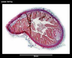 Image of <i>Spengelomenia polypapillata</i> Salvini-Plawen 1978