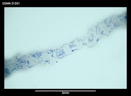 Image of <i>Alcyonidium simulatum</i> Porter & Hayward 2004