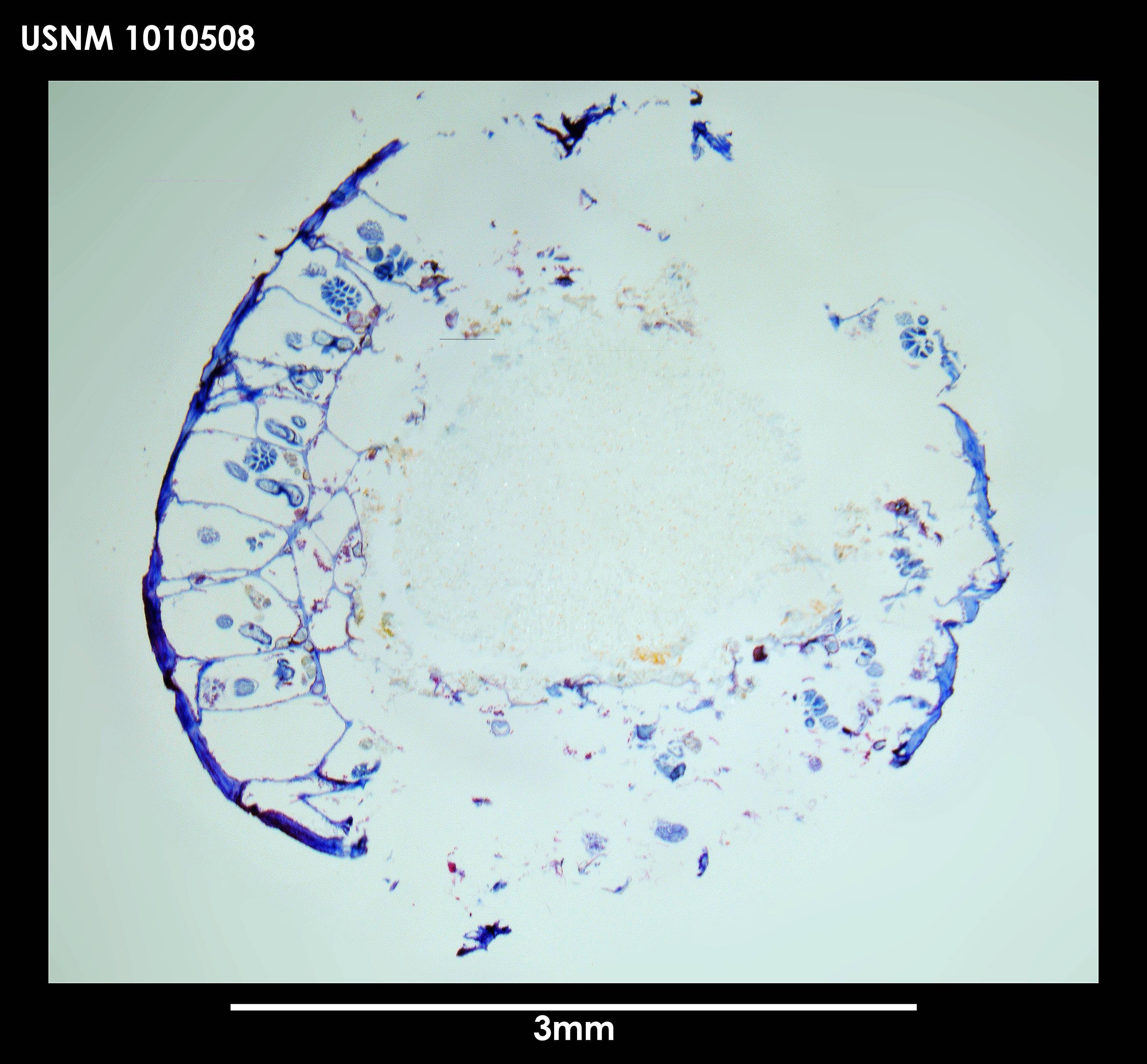 Image of <i>Alcyonidium epispiculum</i> Porter & Hayward 2004