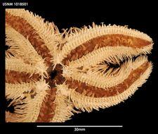 Image of <i>Peribolaster folliculatus</i> Sladen 1889