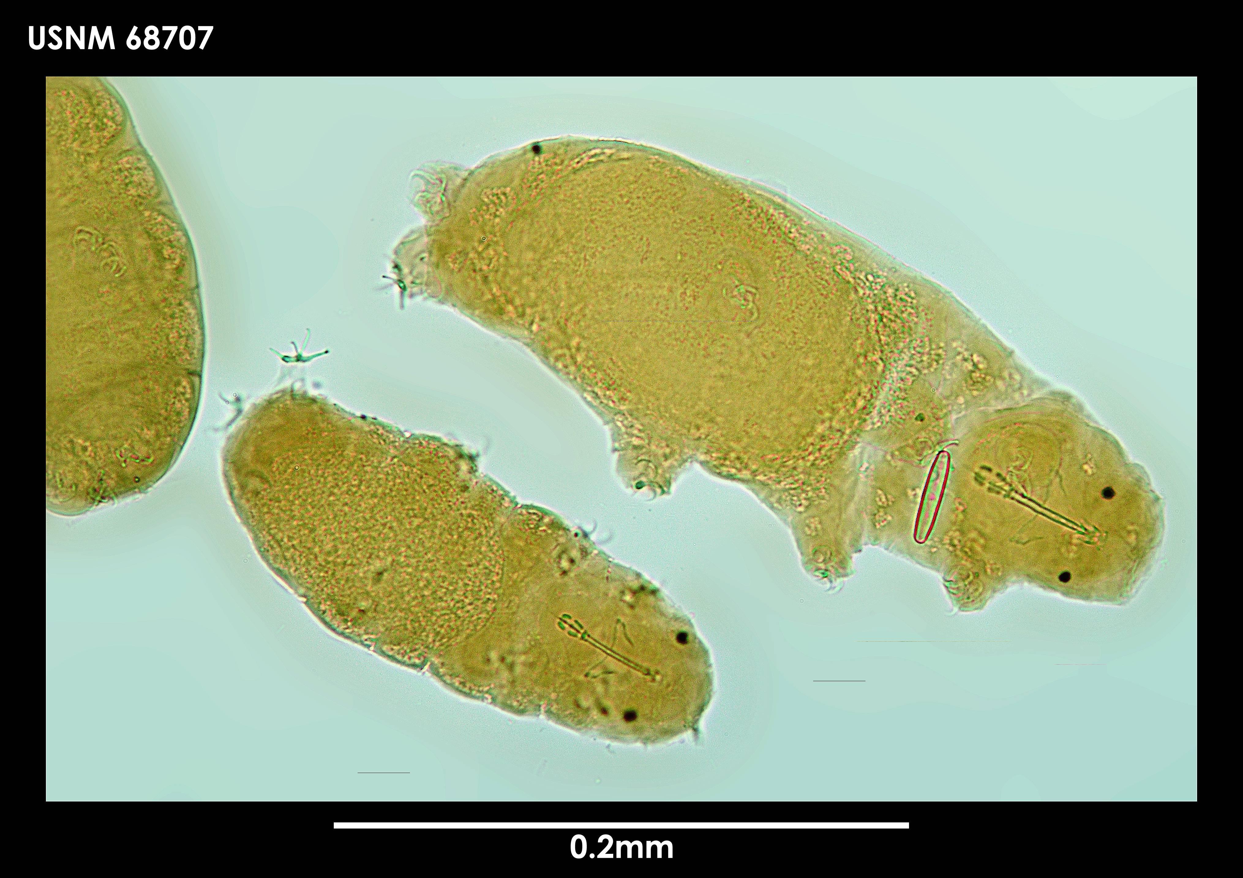 Image of <i>Hypsibius arcticus</i> (Murray 1907)