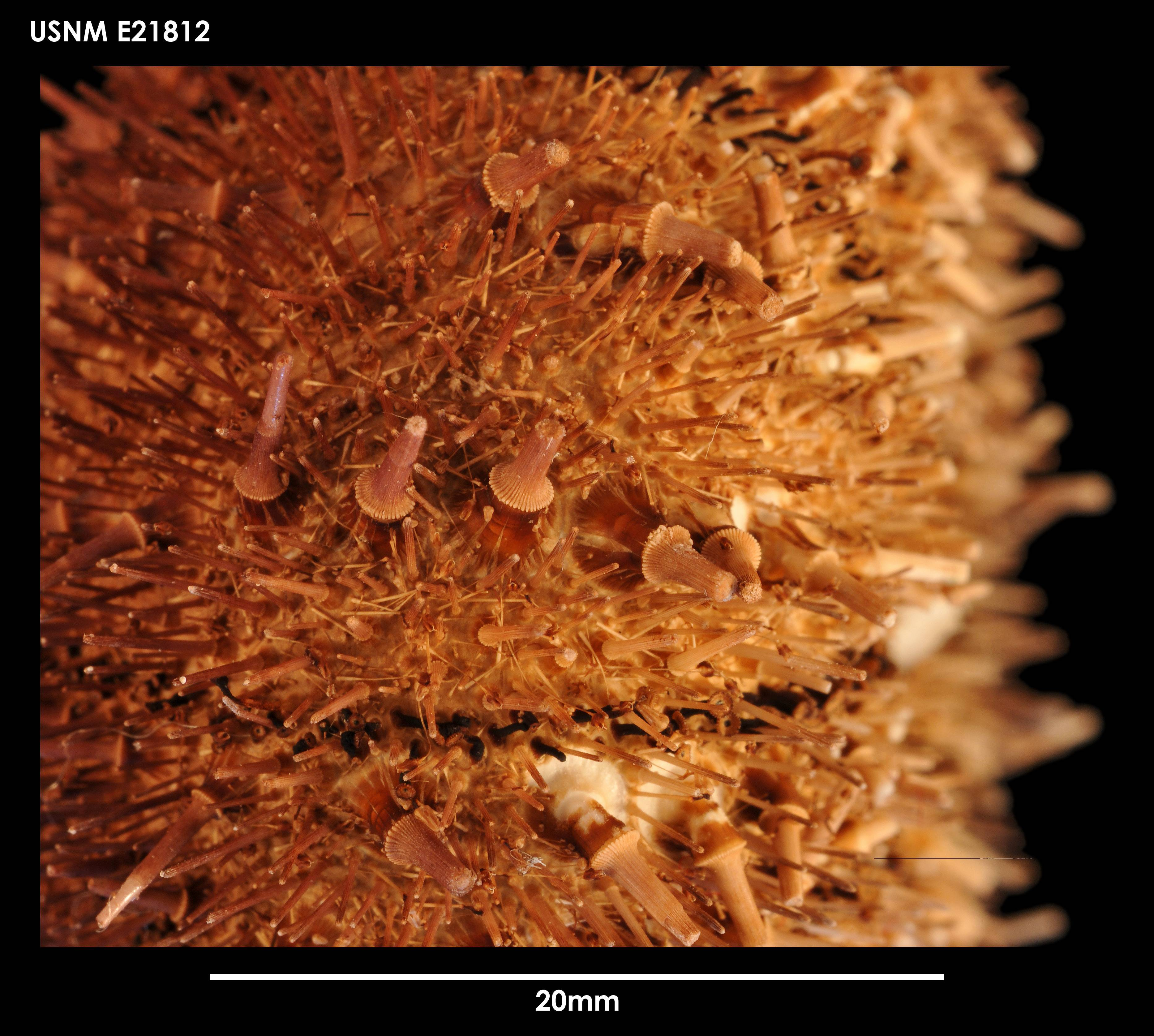Image of Antarctic sea urchin