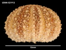 Image of <i>Pseudechinus magellanicus</i> (Philippi 1857)