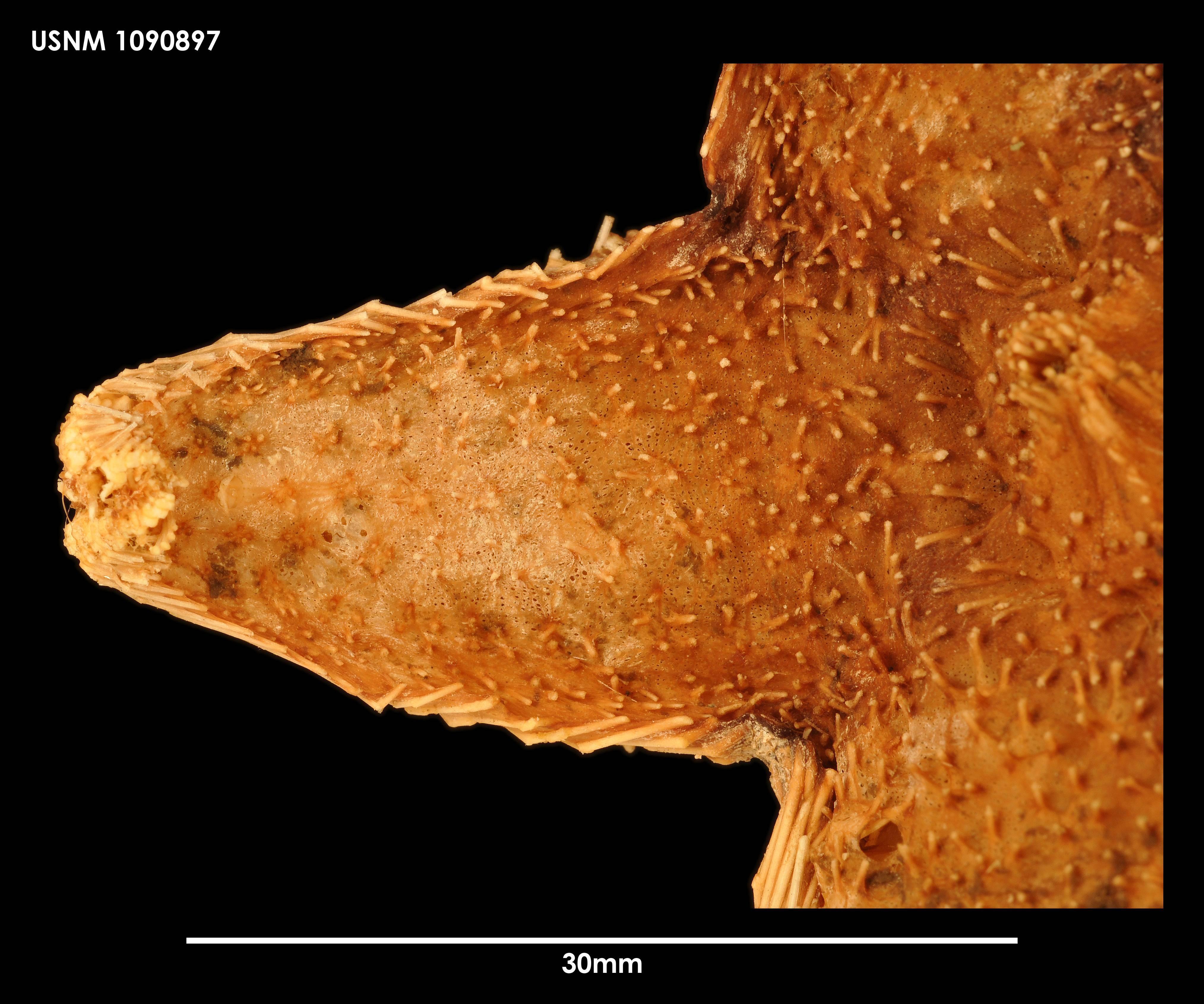 Image of <i>Hymenaster caelatus</i> Sladen 1882