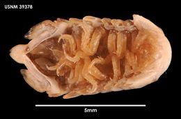 Image of <i>Cymodocella tubicauda</i> Pfeffer 1887