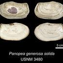 Image of <i>Panopea generosa solida</i> Dall 1898