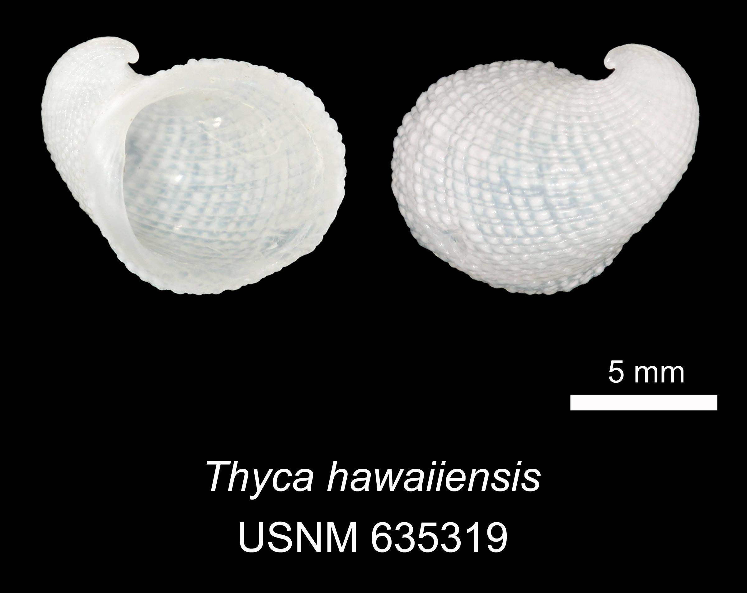 Image of <i>Thyca hawaiiensis</i> Warén 1980