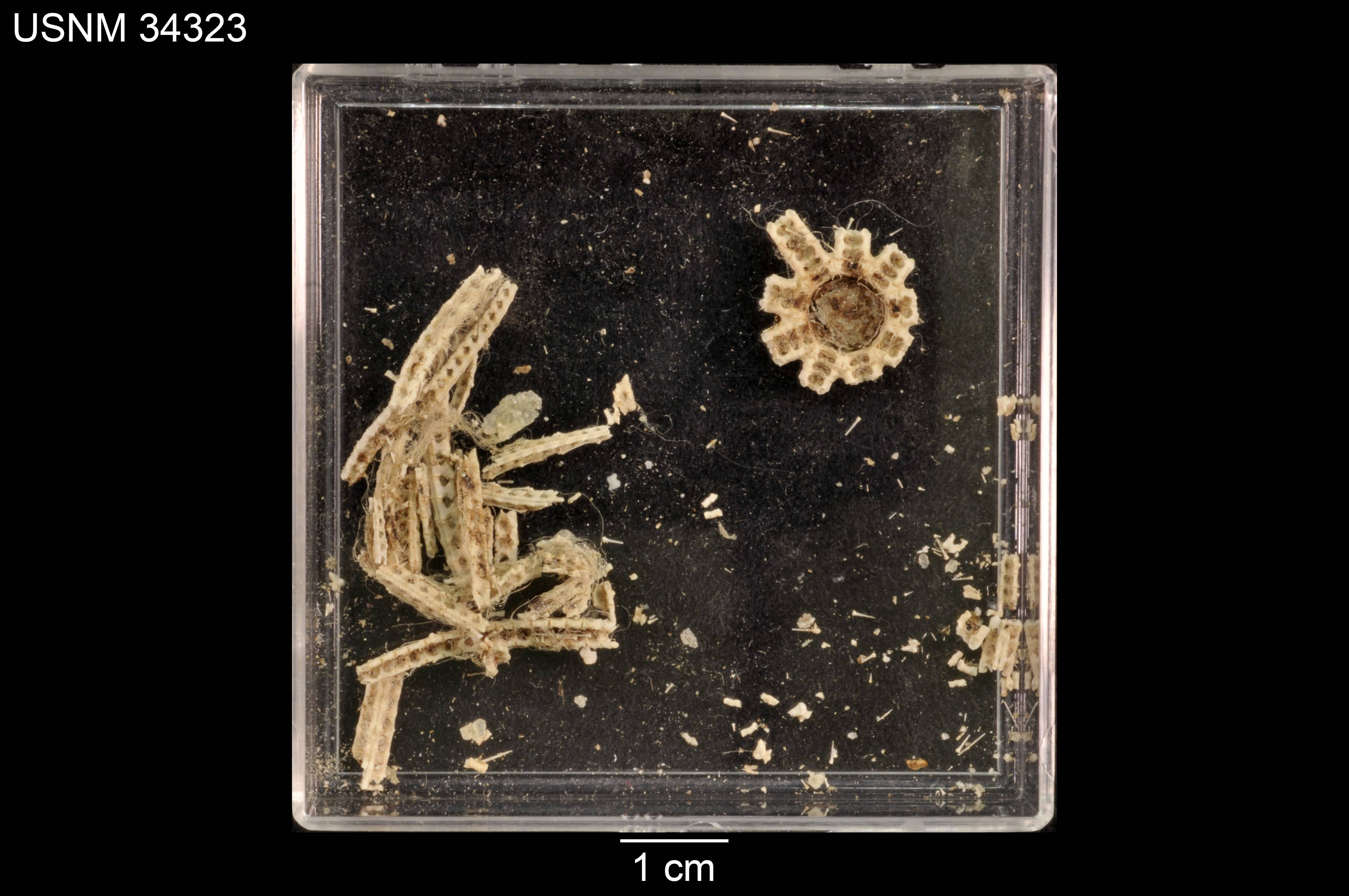 Image of <i>Astrolirus panamensis</i> (Ludwig 1905)