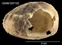Image of <i>Hypselaster affinis</i> Mortensen 1948