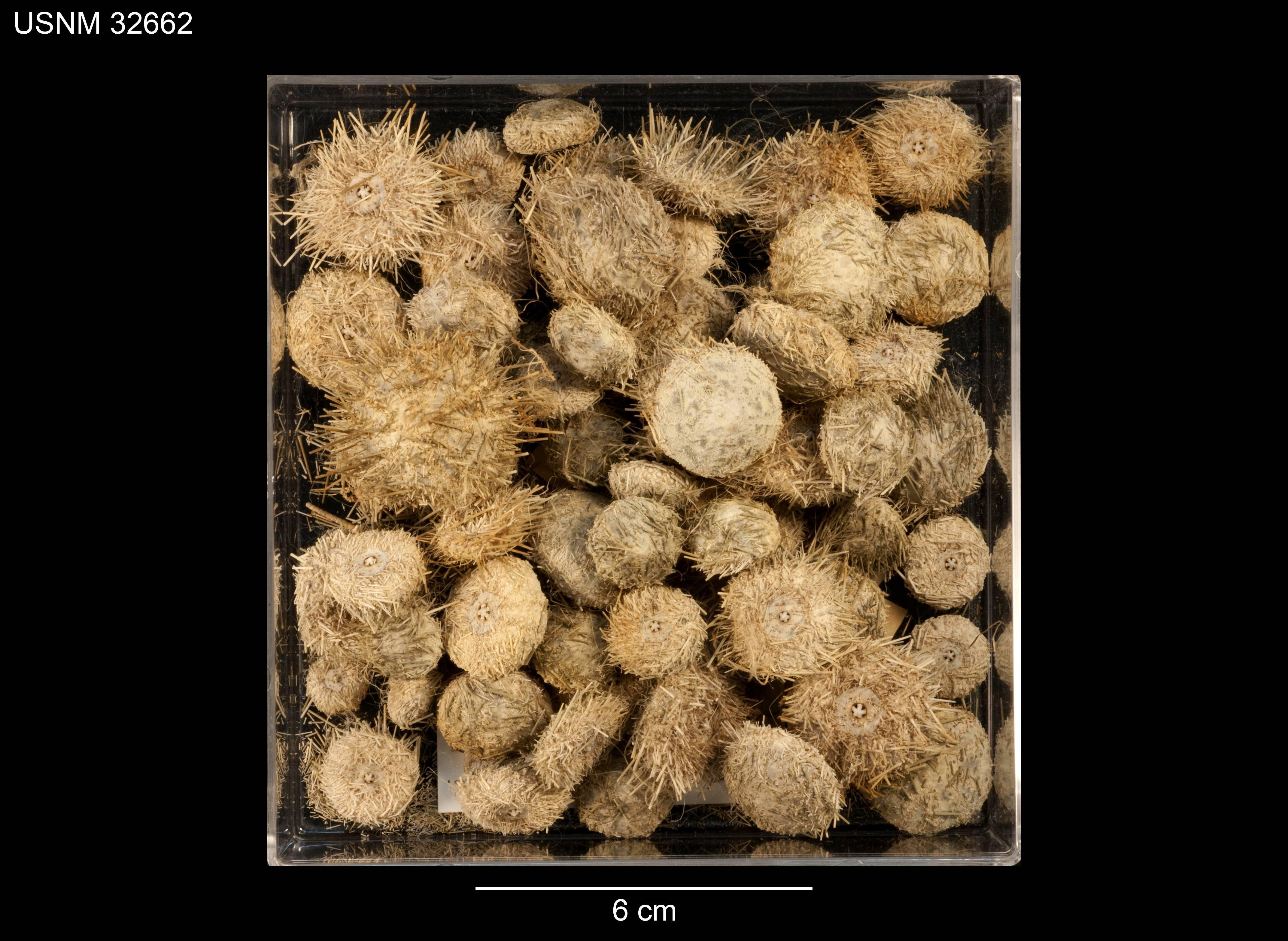 Image of <i>Lytechinus anamesus</i> Clark 1912