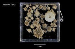 Image of <i>Prionechinus sculptus</i> A. Agassiz & H. L. Clark 1907