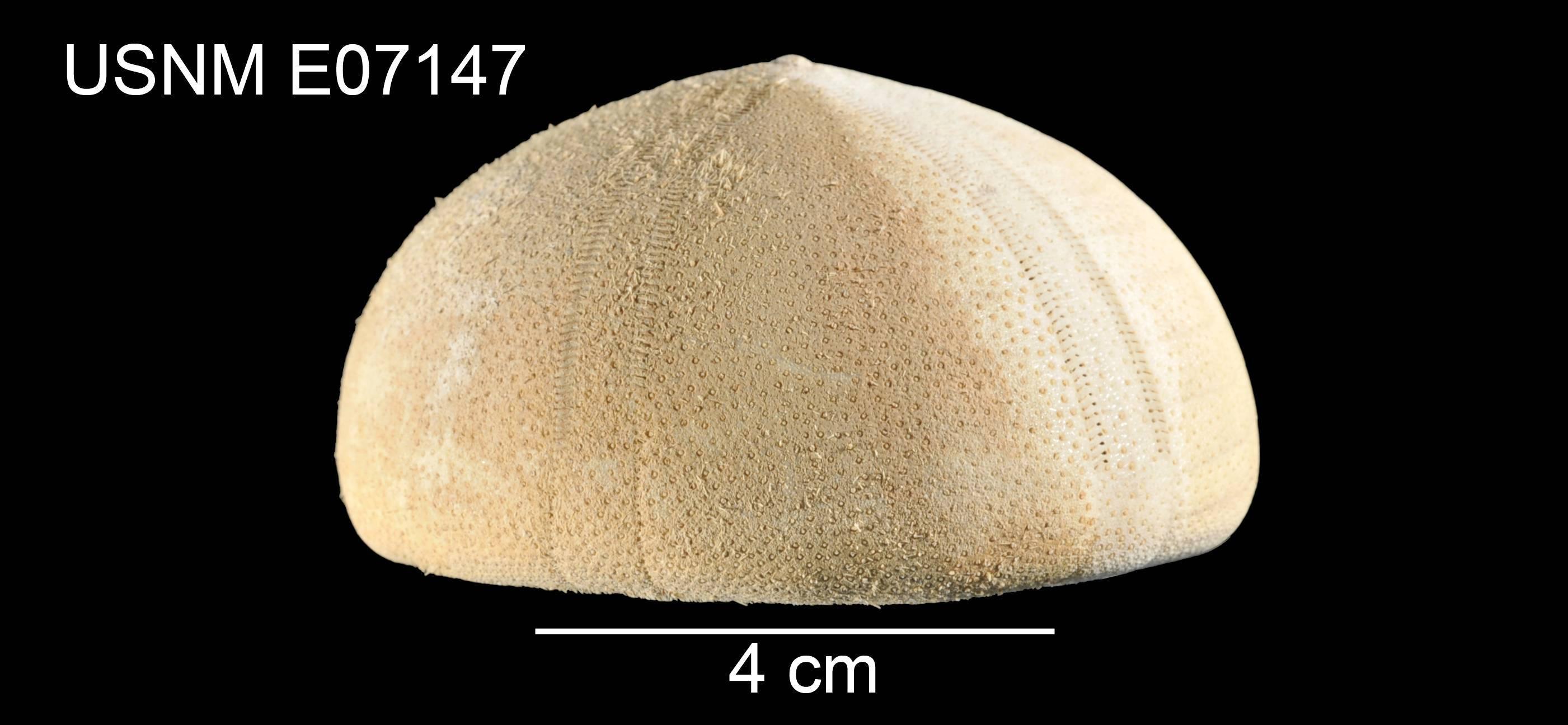 Image of <i>Conolampas diomedeae</i> Mortensen 1948