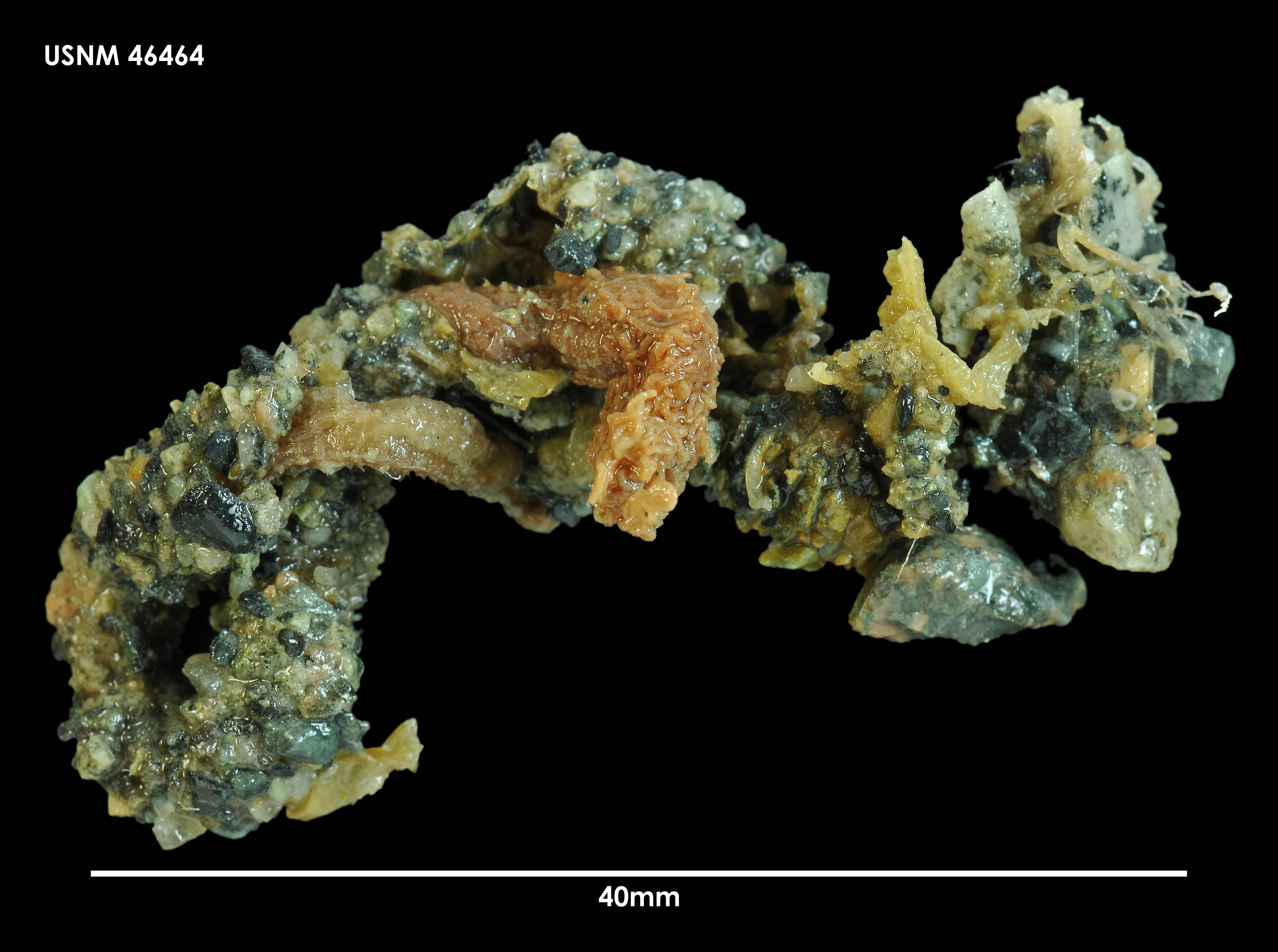 Image of <i>Thelepus setosus</i> (Quatrefages 1866)