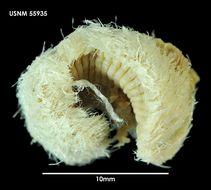 Image of <i>Euphrosine notialis</i> Ehlers 1900