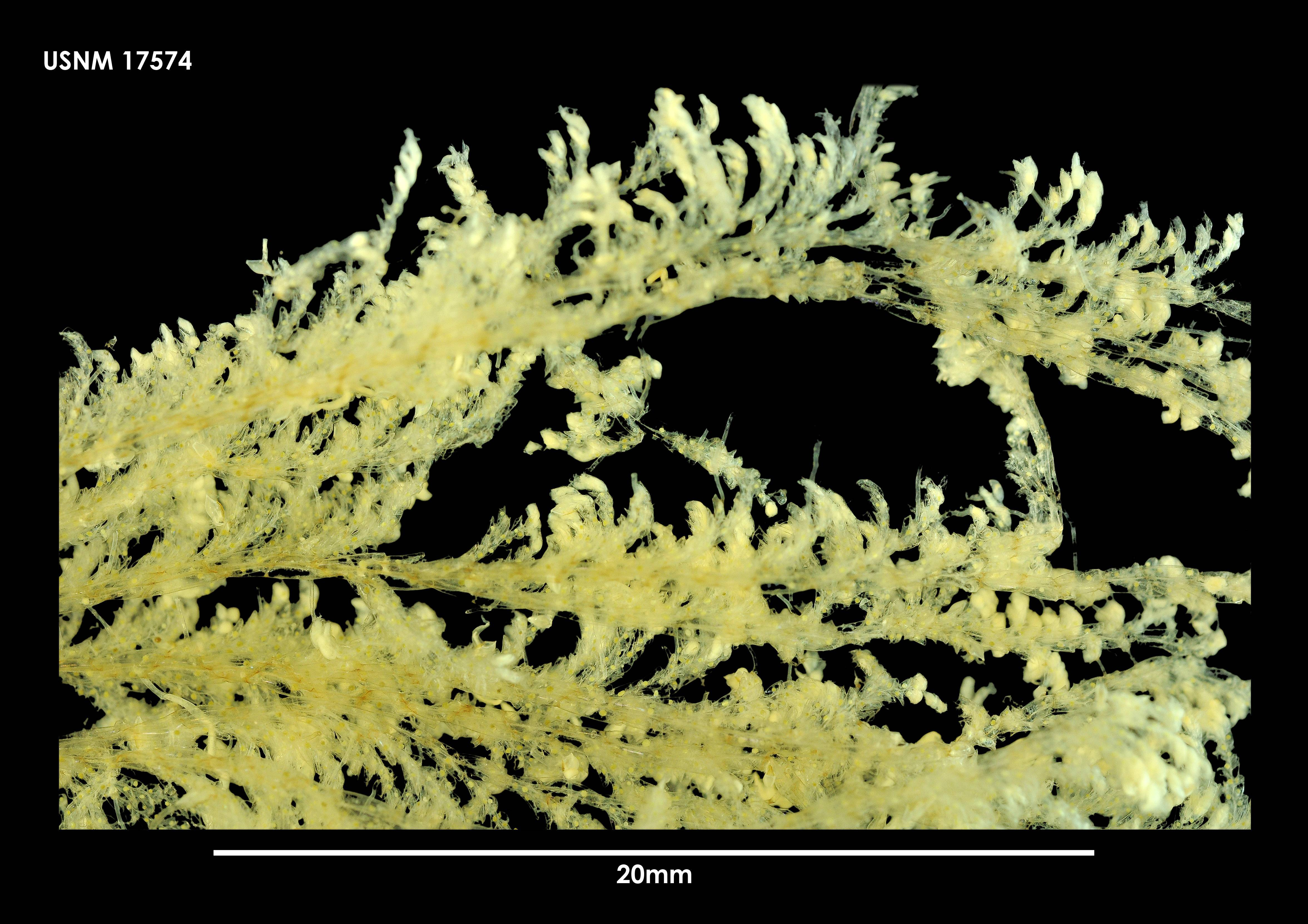 Image of <i>Camptoplites bicornis</i> ssp. <i>magna</i> Kluge 1914