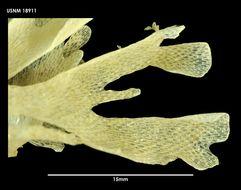 Image of <i>Camptoplites retiformis</i> (Kluge 1914)