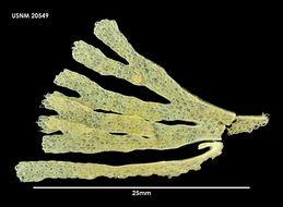 Image of <i>Malakosaria sinclairii</i> (Busk 1857)
