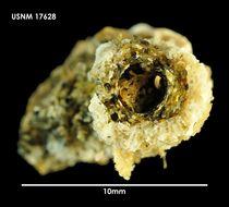 Image of <i>Osthimosia notialis</i> Hayward 1992