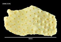 Image of <i>Thrypticocirrus contortuplicata</i> (Calvet 1909)