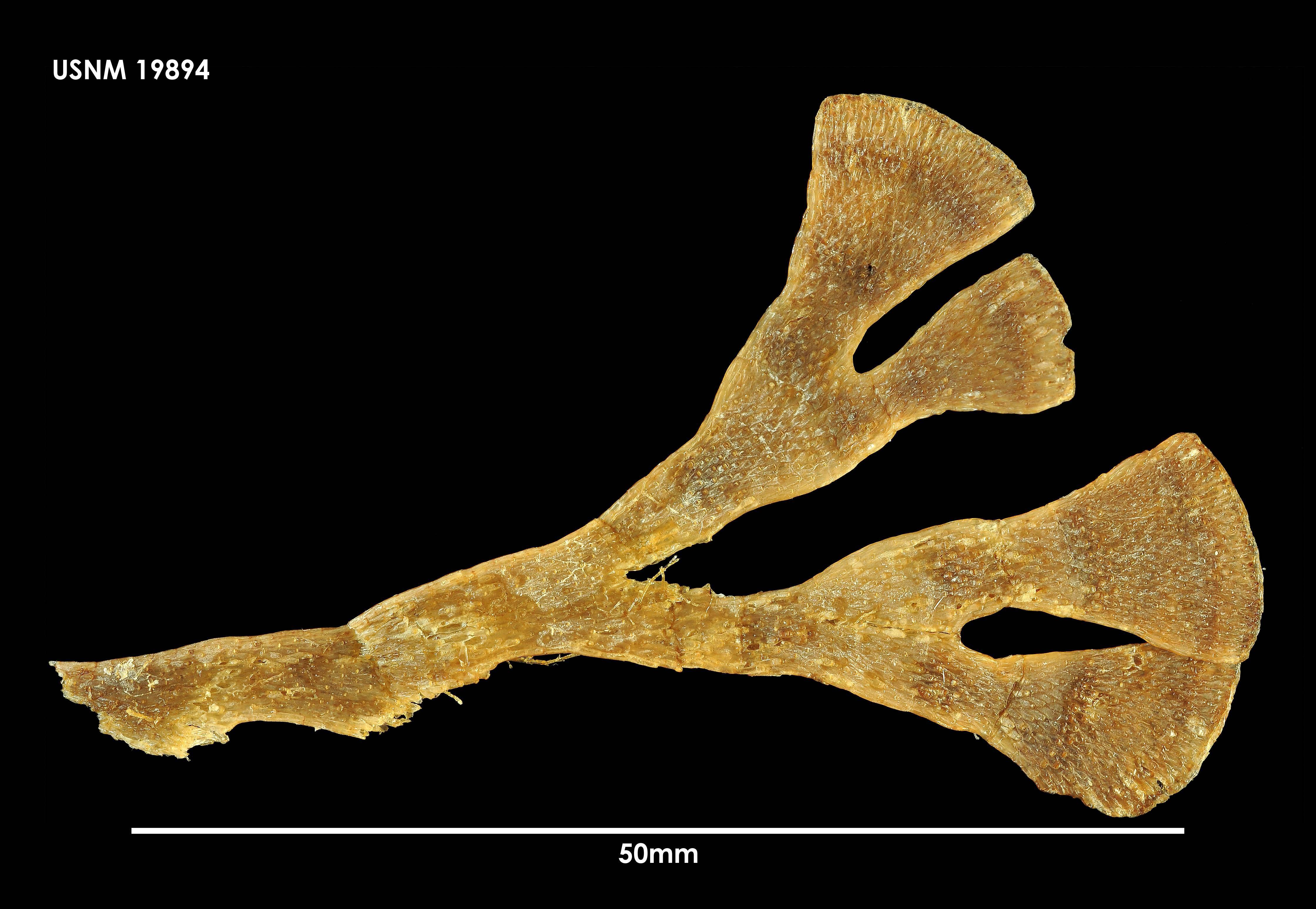 Image of <i>Isosecuriflustra angusta</i> (Kluge 1914)