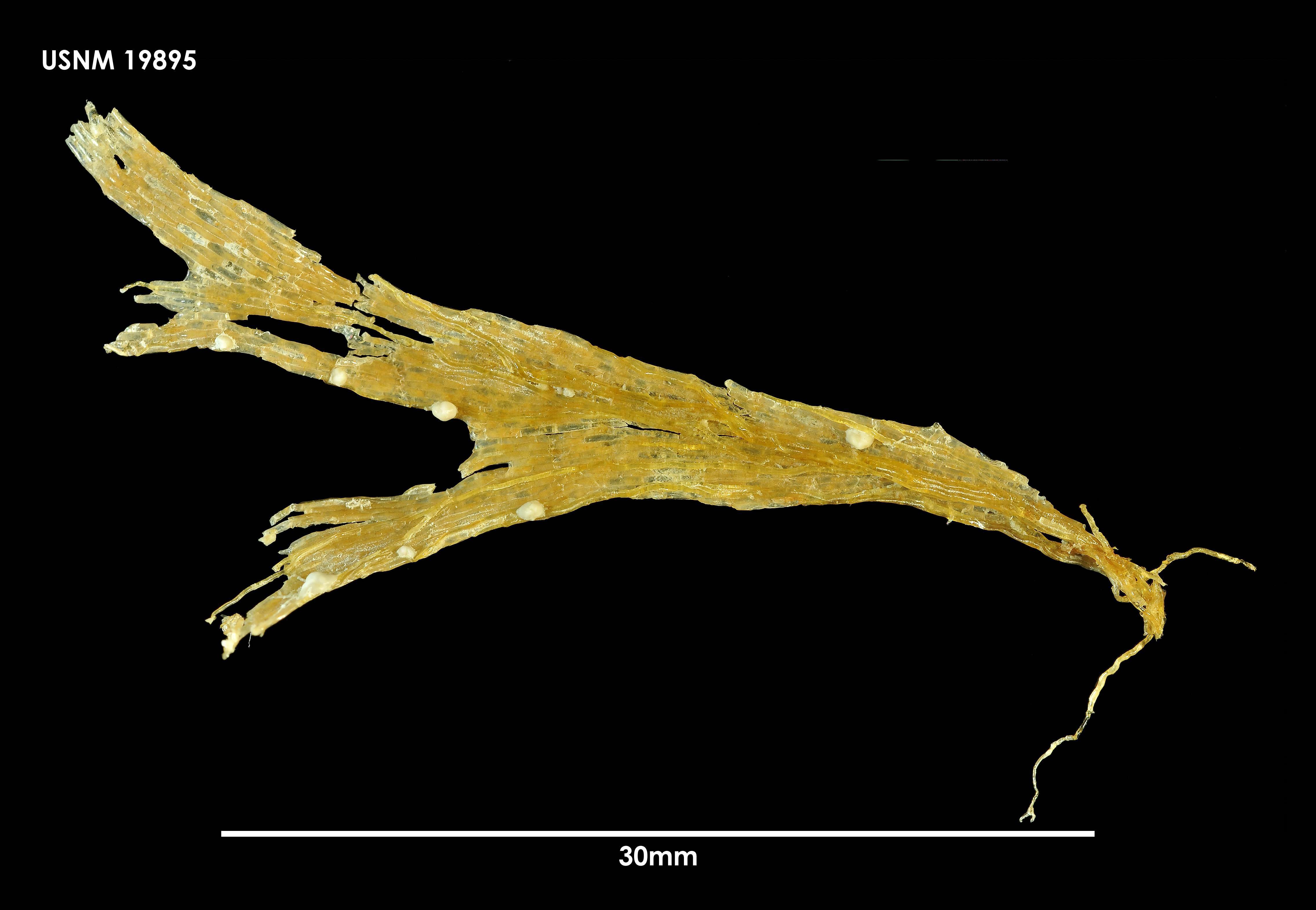 Image of <i>Isosecuriflustra tenuis</i> (Kluge 1914)