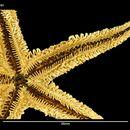 Image of <i>Smilasterias clarkailsa</i> O'Loughlin & O'Hara 1990
