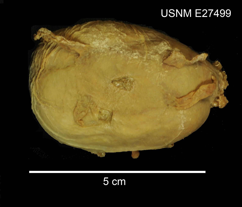 Image of deep sea cucumber