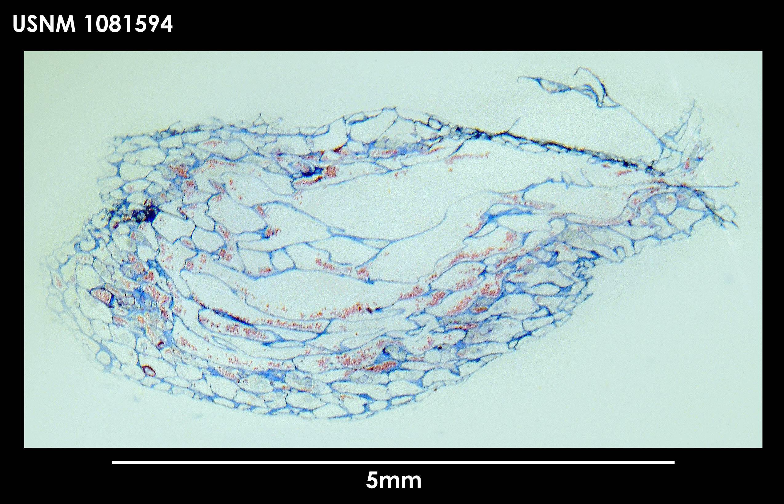 Image of <i>Alcyonidium scolecoideum</i> Porter & Hayward 2004