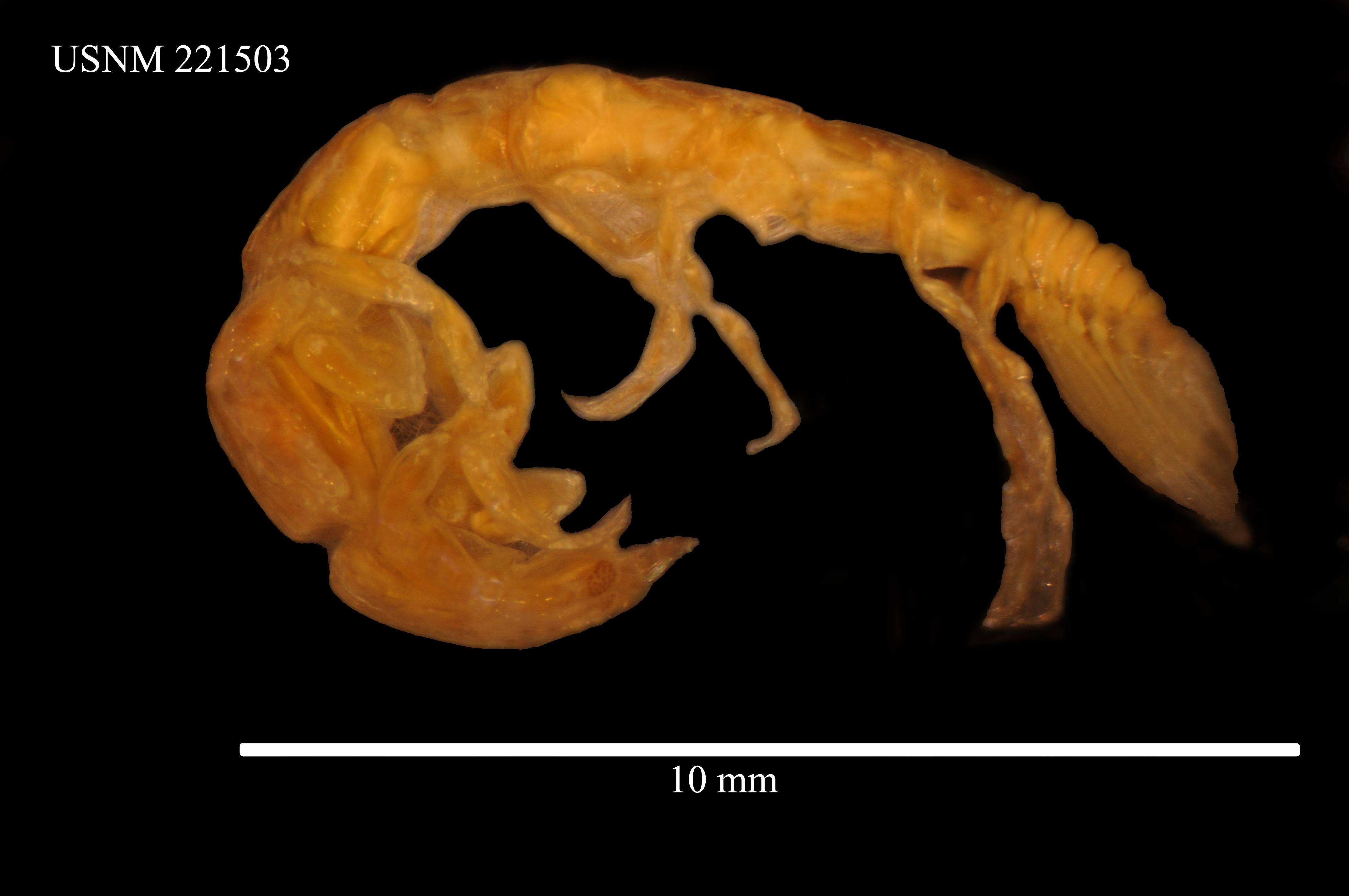 Image of <i>Aenigmathura lactanea</i> Thomson 1951