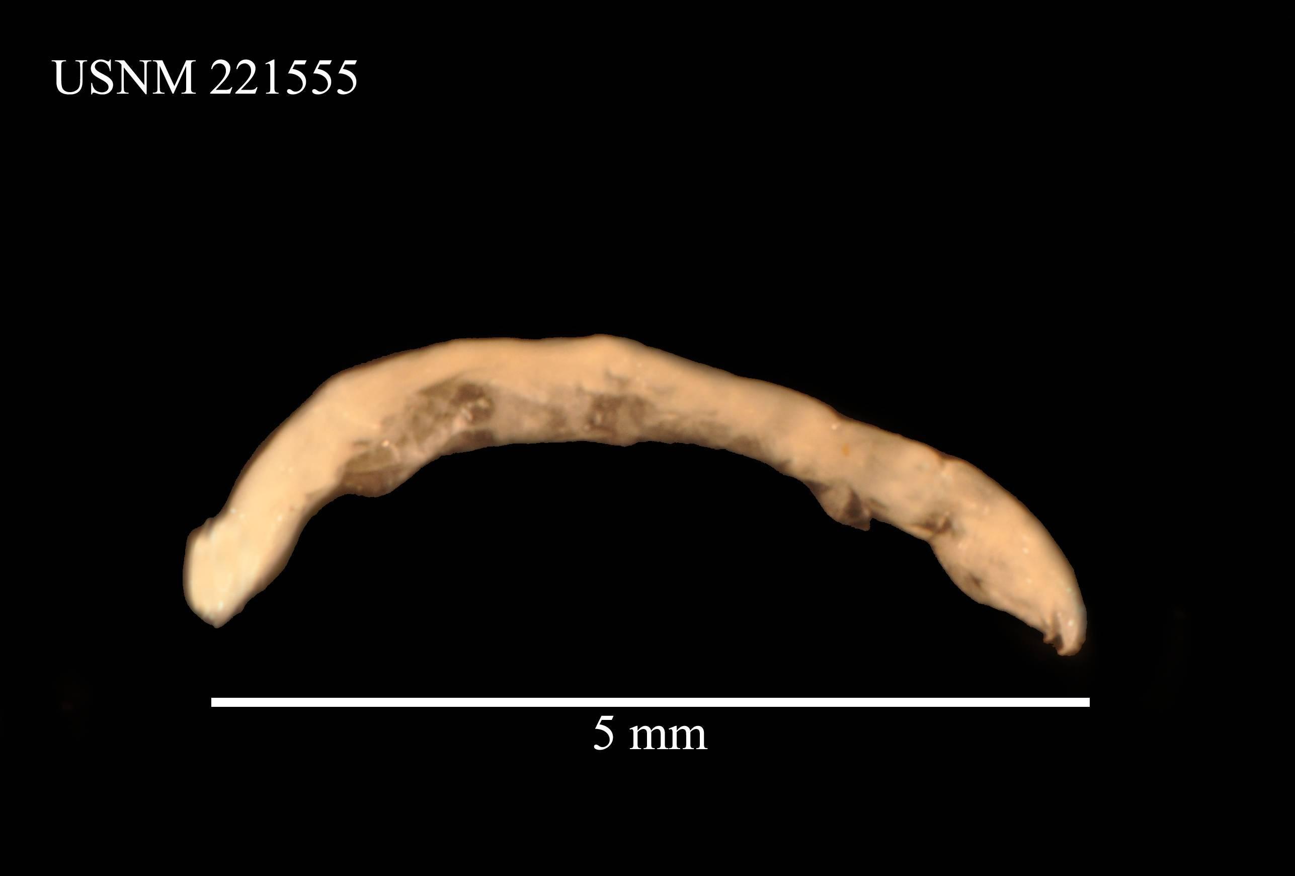 Image of <i>Leptanthura argentinae</i> Kensley 1982