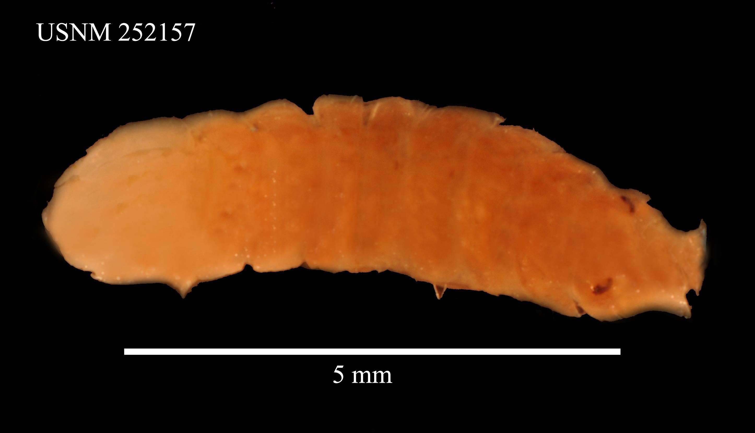 Image of <i>Stenetrium crassimanus</i> Barnard 1914