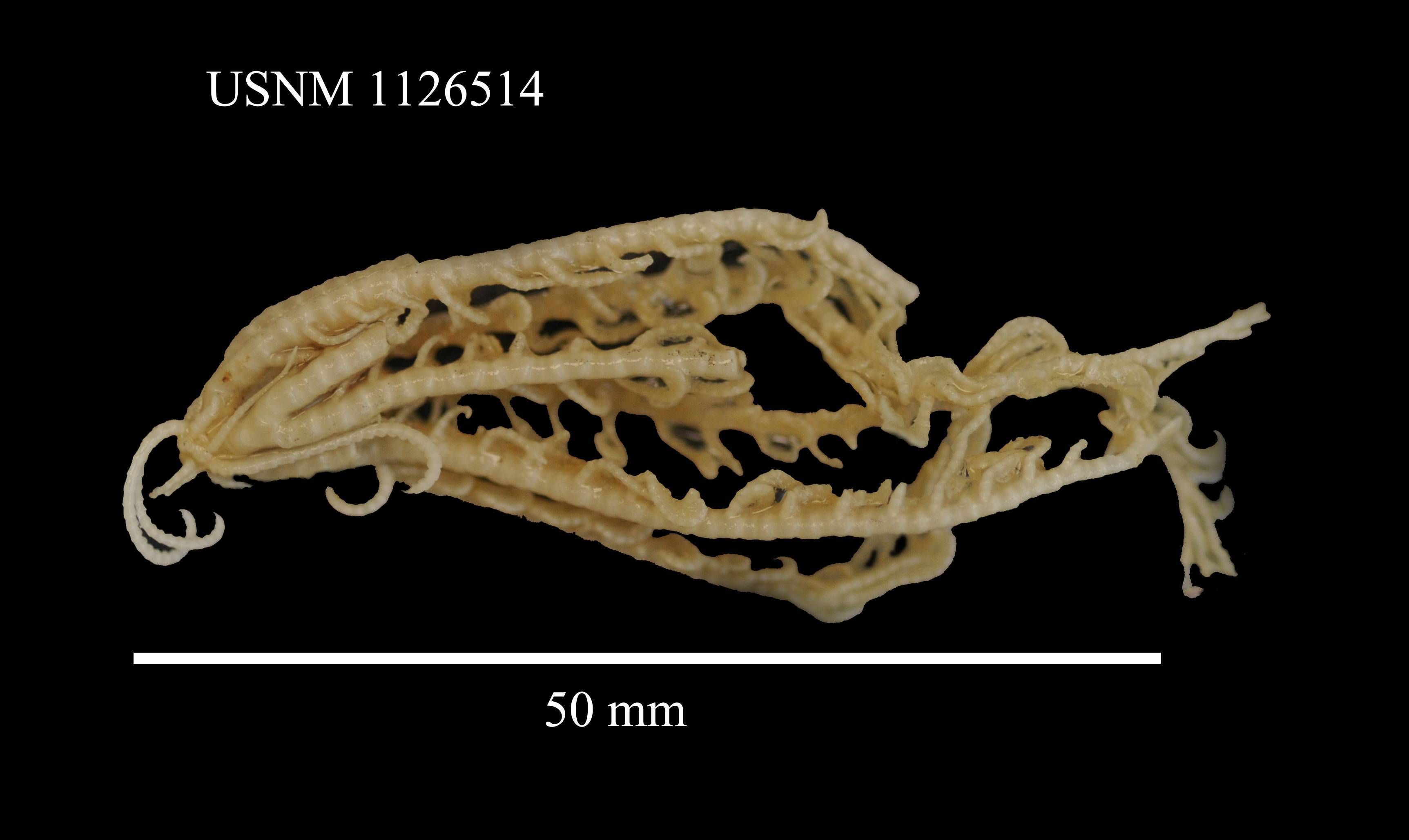 Image of <i>Notocrinus mortenseni</i> John 1938