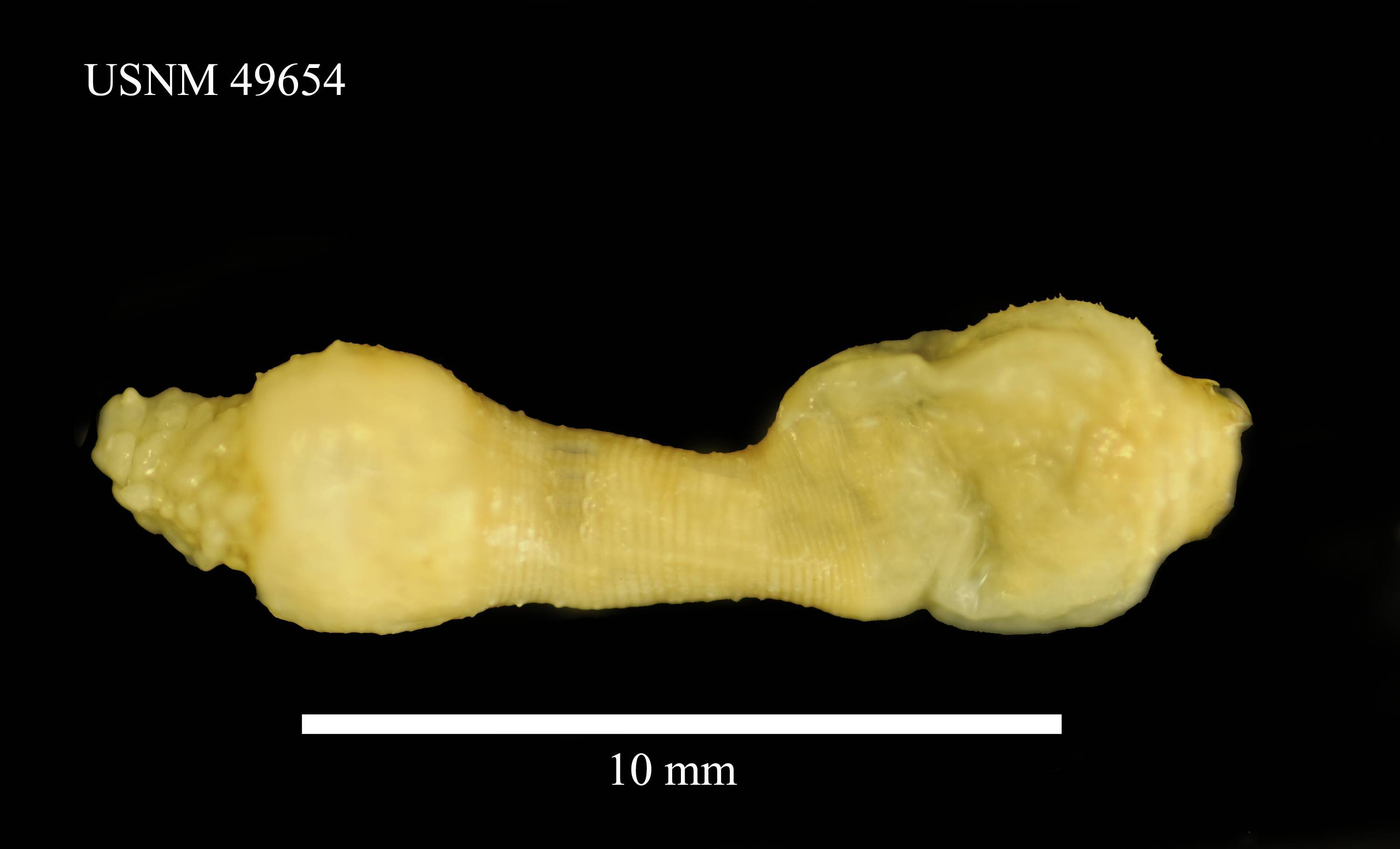 Image of <i>Priapulus tuberculatospinosus</i> (Baird 1868)