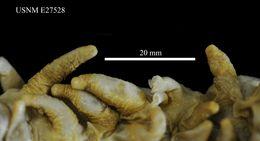 Image of <i>Oneirophanta <i>mutabilis</i></i> mutabilis Theel