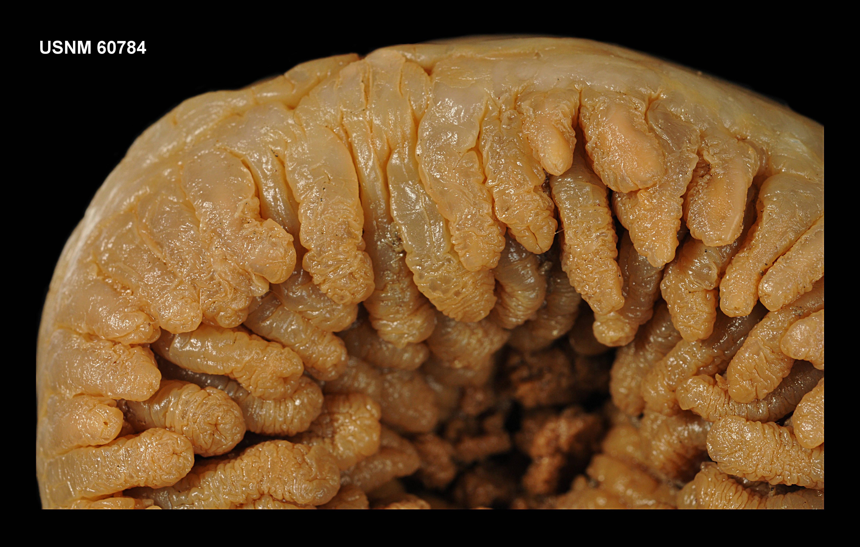 Image of <i>Sicyonis erythrocephala</i> (Pax 1922)