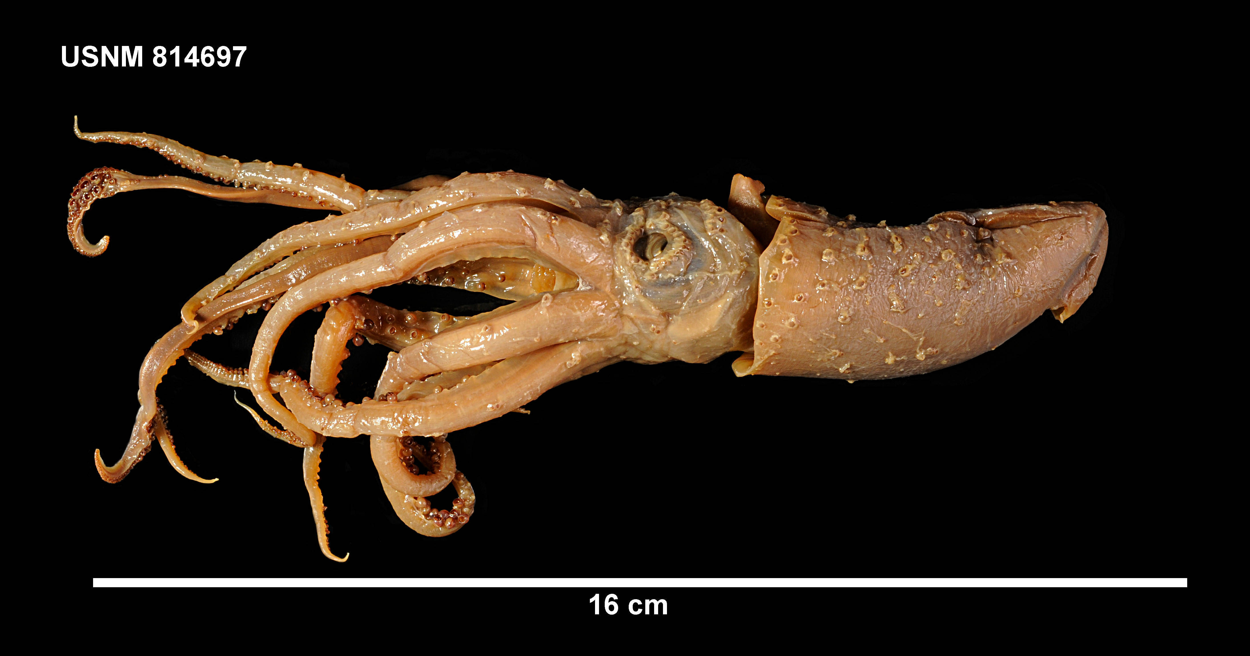 Image of <i>Histioteuthis eltaninae</i> Voss 1969