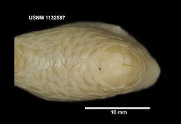 Image of <i>Psolus patagonicus</i> Ekman 1925