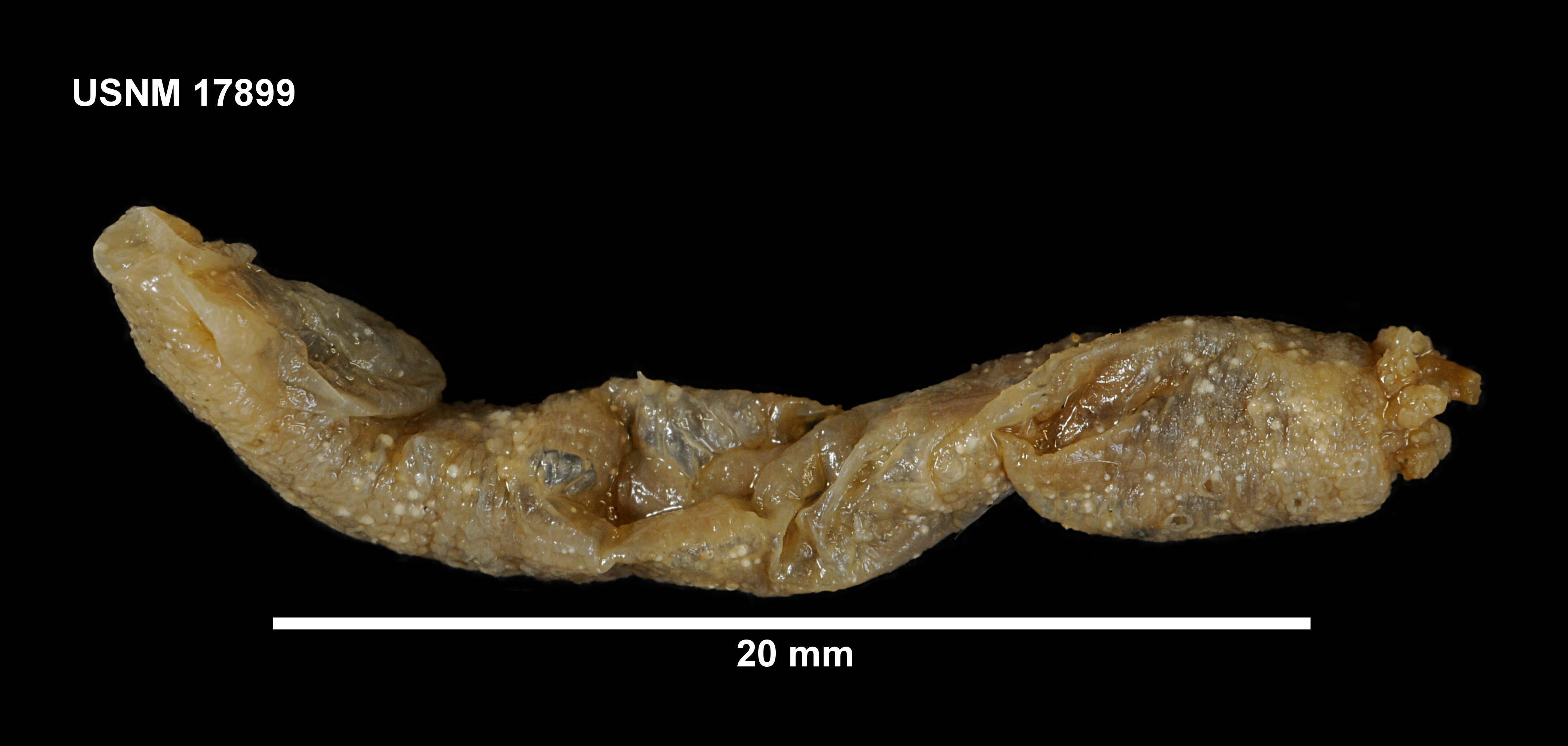 Image of <i>Taeniogyrus australianus</i> (Stimpson 1855)