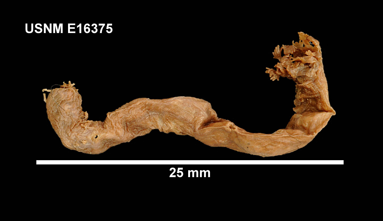 Image of <i>Trochodota purpurea</i> (Lesson 1830)
