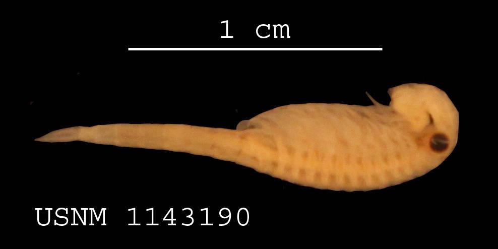 Image of <i>Streptocephalus torvicornis</i> (Waga 1842)