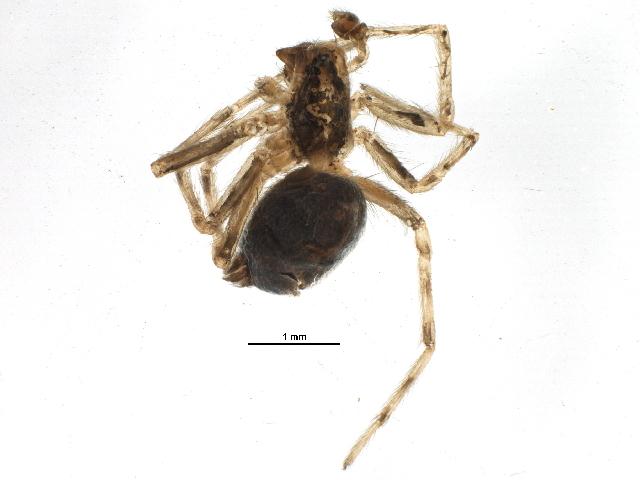 Image of Black house spider